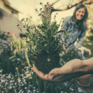 Hand holding flowering plant and roots before placing in garden